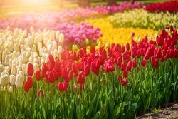 Colofur Tulips flowerbed At Emirgan Park, Istanbul. Festival of tulip flowers.