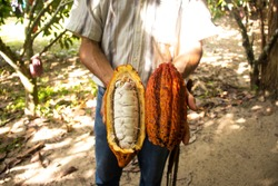 Colombian Cacao Farm  with natural cacao fruit