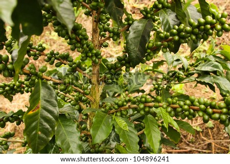 Colombian coffee plantation in the Andean valleys. Quimbaya, Quindio, Colombia. Triangle coffee.