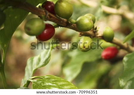 Colombian coffee plantation in the Andean valleys. Quimbaya, Quindio, Colombia. Triangle coffee. Zone of high quality coffee. coffe, cofe, coffee, cofee, bean, plantation, plant, colombian.