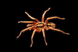Colombian pumpkin patch tarantula and black background