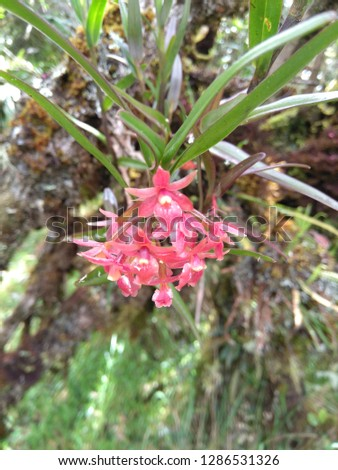 COLOMBIAN SILVESTER ORCHID #1286531326