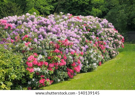 stock-photo-colonial-parc-in-brussels-and-blossoming-rhododendrons-of-different-colors-140139145.jpg