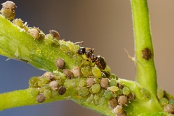Colony of aphids and ants on garden plants.