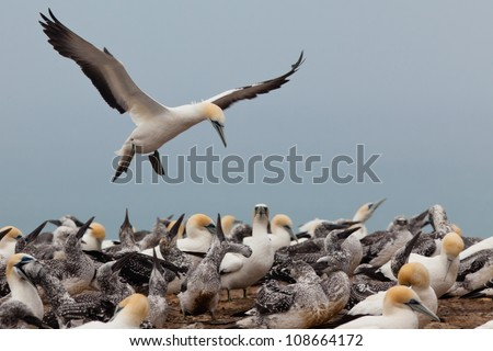 Colony of Australasian Gannets, Morus serrator, fledging youngs and feeding adult birds