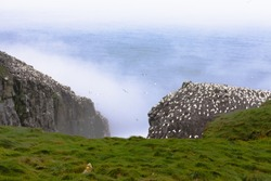 Colony of breeding Northern Gannets, Morus bassanus, on Cape St Marys, Newfoundland, NL, Canada