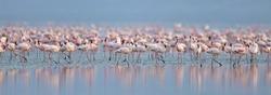 Colony of Flamingos on the Natron lake. Lesser Flamingo Scientific name: Phoenicoparrus minor. Tanzania Africa.