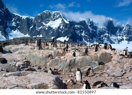 Colony of Gentoo Penguins in Port Lockroy, Antarctica