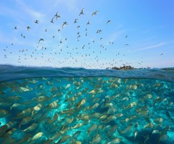 Colony of gulls flying in the sky and a school of fish underwater, split view over and under water surface, Mediterranean sea, Spain, Costa Brava