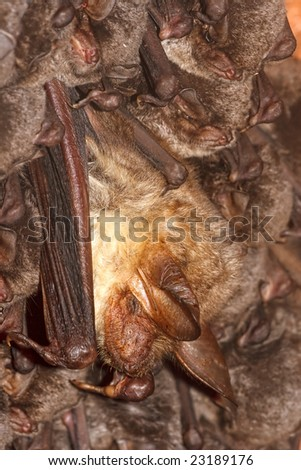 Colony of horseshoe bats.