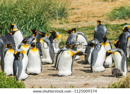 Colony of king penguins (Aptenodytes patagonicus) on the western coast of Tierra el Fuego in Chile