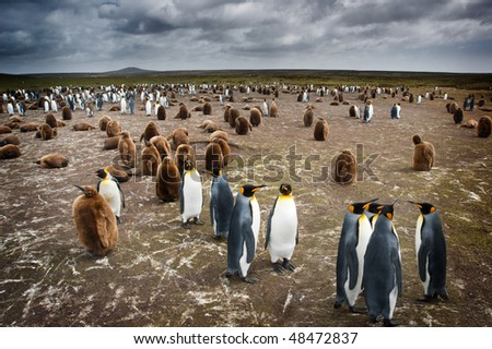 Colony of Penguins in the Falklansd Islands