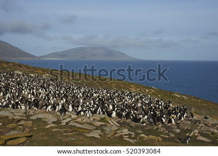 Colony of Rockhopper Penguins (Eudyptes chrysocome) on a grassy plain close to cliffs leading to the sea on Saunders Island on the Falkland Islands.