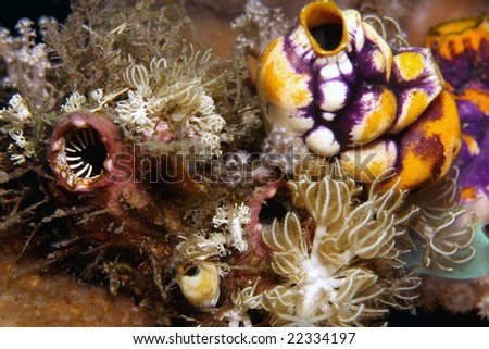 colony of sea squirts feeding on coral reef at night