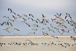 Colony of seagulls at a coast, island of Djerba, Tunisia, North Africa