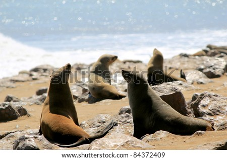 Colony of seals at Cape Cross Reserve, Atlantic Ocean coast in Namibia.