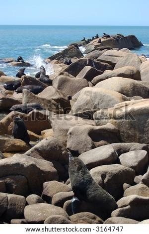Colony of South American fur seals.  Uruguay.