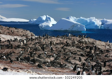 colony with penguins in Antarctica. Snow background