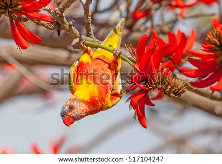 Color aberrations in a Rainbow Lorikeet (Trichoglossus haematodus), a medium-sized Australian parrot, seen here feeding on the flowers of a Coral Tree (Erythrina sykesii) in Perth, Western Australia.