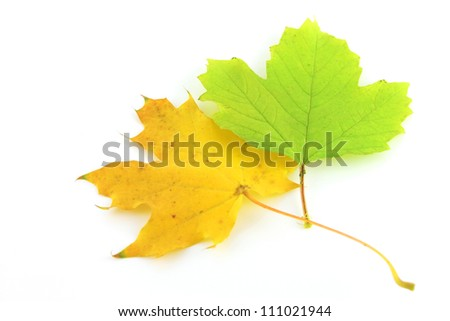 Color autumn leaves of maple over white - stock photo