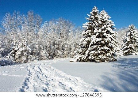 Color DSLR landscape picture of tall pine trees in the white winter snow.  The snow covered path has footprints and a clear blue sky background and copy space for text
