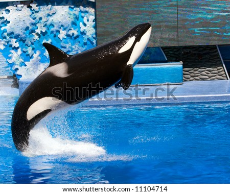Color DSLR picture of a killer whale jumping out of a pool.  The black and white orca is jumping out of blue water. Horizontal orientation with copy space for text