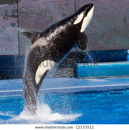 Color DSLR picture of a Killer Whale jumping out of a pool.  The orca is black and white and the water, streaming off his body is blue.  The image is in vertical orientation wtih copy space for text