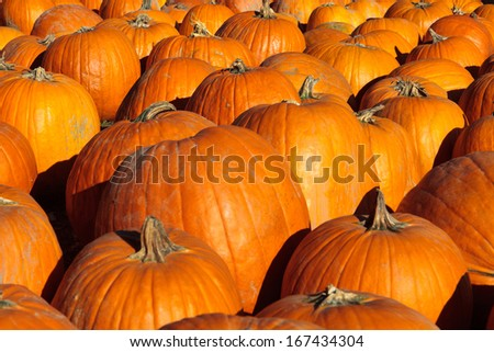 Color DSLR picture of festive holiday orange Halloween pumpkins.  The multiple vegetables fill the horizontal frame and are in full sun light.  The image is good for background.