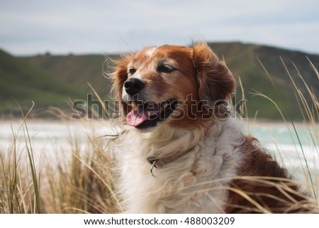 color head and shoulders portrait of a red haired collie type sheep dog in long dune grasses on a windy day at a beach in Gisborne, New Zealand  #488003209