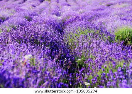 color lavender field. Natural and herbal landscape