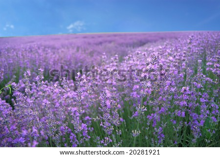 Color lavender field. Natural  and  herbal summer landscape