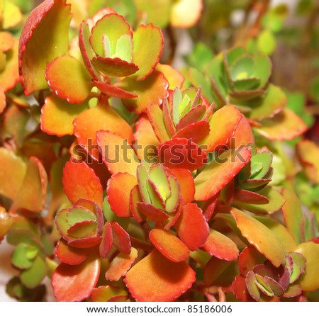 stock-photo-color-leaves-of-flowers-calankhoe-shallow-dof-85186006.jpg