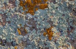 Color lichen on stone top view.