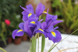 Color of Iris versicolor flower