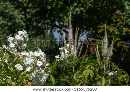 Color outdoor macro of two blooming green whiteblack root/ bowman's root /culverphysic/ culver's physic/culver's root stems and phlox on natural blurred background with blue sky