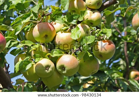 Color photo of ripe apples on a branch