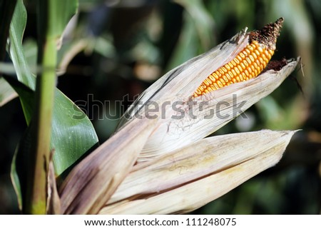 Color picture of a ear of corn