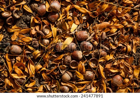 Color picture of acorn in a park