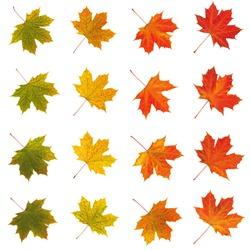 color scale maple leave