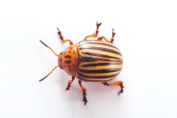 Colorado beetle isolated.
