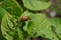 Colorado beetle larva on leaves of potato plant. Beetle, bug walk on leaf, eats leaf, bites. Harmful insect or pest on young plant. Insect and pest concept. Ugly larva injuring plant, close up.