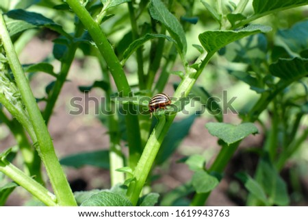 Colorado beetles eat potato crop in the garden.