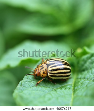 Colorado bug on green leaves