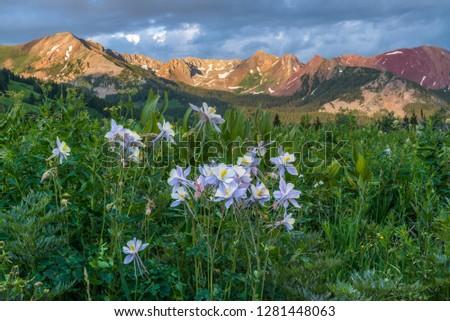 Colorado Columbine, aquilegia caerulea from Gothic Road near Crested Butte, Co