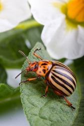 Colorado potato beetle eating green leaf