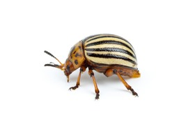 Colorado potato beetle isolated on the white background. Close-up