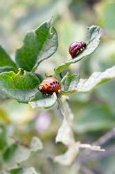 Colorado potato beetle larvae eat leaf of young potato