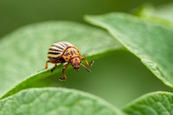 Colorado potato beetle, Leptinotarsa decemlineata, Colorado beetle, ten-striped spearman, ten-lined potato beetle or the potato bug on green leaves. main potato pest