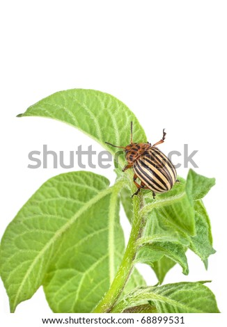 Colorado potato beetle on a green leaves