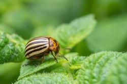Colorado potato beetles in potato leaves.Colorado beetle, potato parasite. Close-up colorado potato beetle, Decemlineata, potatoes parasites, leptinotarsa, potatoes beetles.